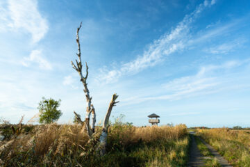 Observation tower and dead Birch (Betula spec.) close to the village of Bugewitz, Anklamer Stadtbruch, Rewilding Europe Oder Delta, Mecklenburg-Vorpommern, Mecklenburg-Western Pomerania, Germany, October 2020