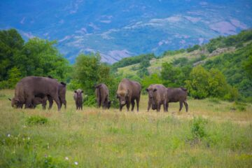 Bison herd in the Rhodope Mountains