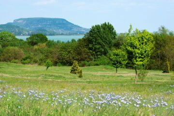 Flax field in Hungary