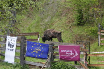 Bison release Southern Carpathians May 2021