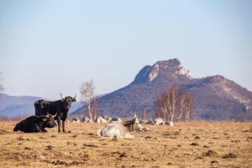 Sayaguesa on the Lika Plains, Velebit Mountains