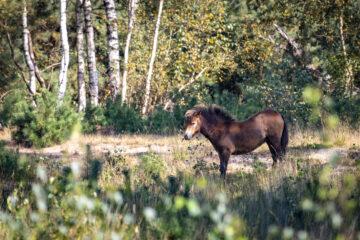 Exmoor pony on the Maashorst