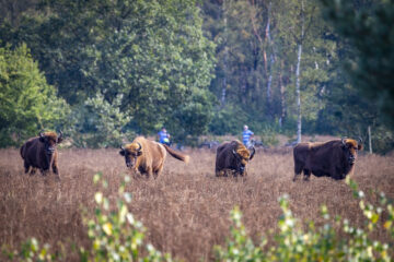 Tourists watching the European bison on De Maashorst from a distance