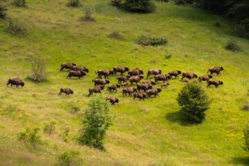 Herd of bison in the Southern Carpathians
