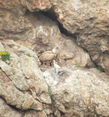 Griffon vulture with chick