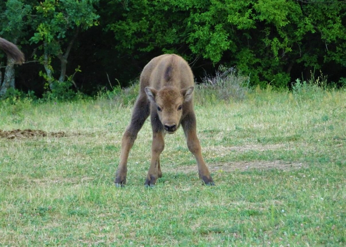 Baby bison born in the Rhodope Mountains