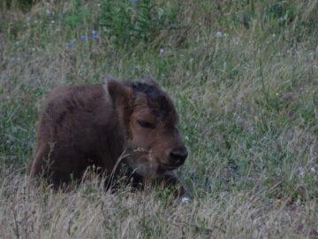 European bison calf born in the Rhodope Mountains.