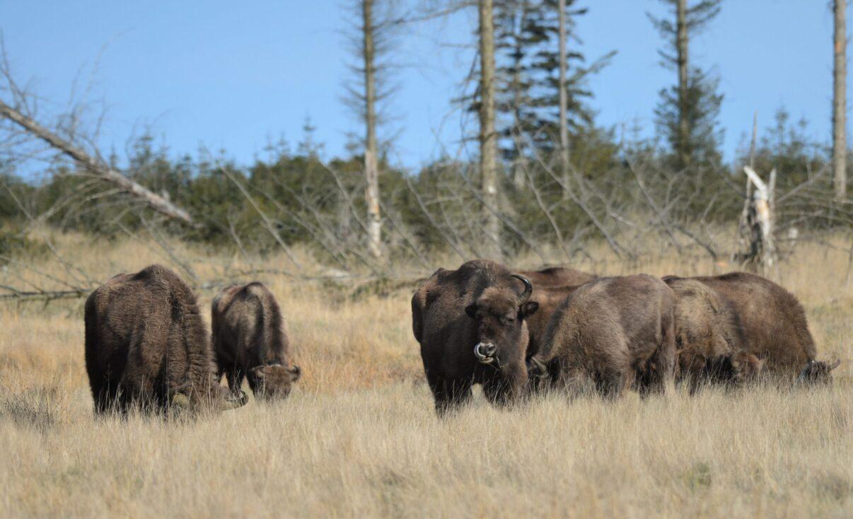 European bison at Lille Vildmose