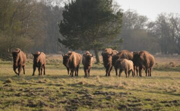 European bison at Lille Vildmose in Denmark