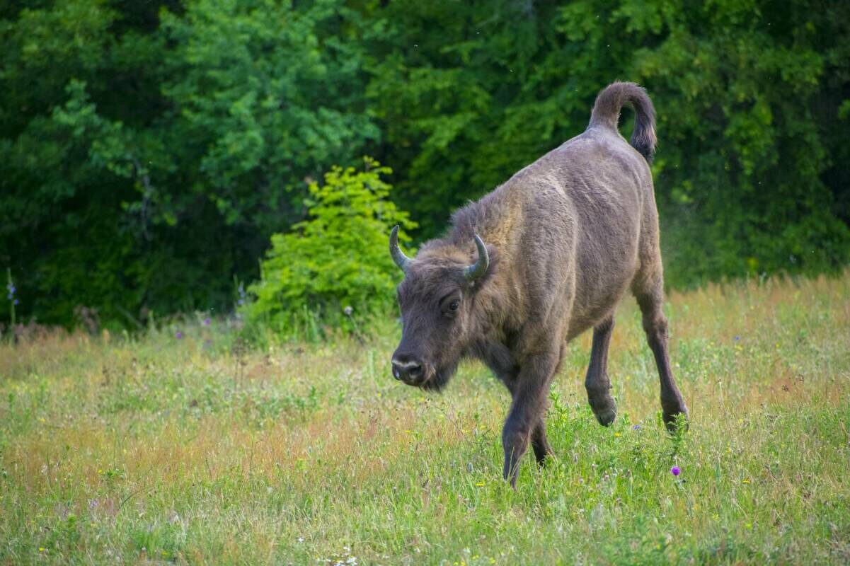 Young European bison in the Rhodope Mountains