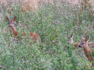 Roe deer at Bamff wildland