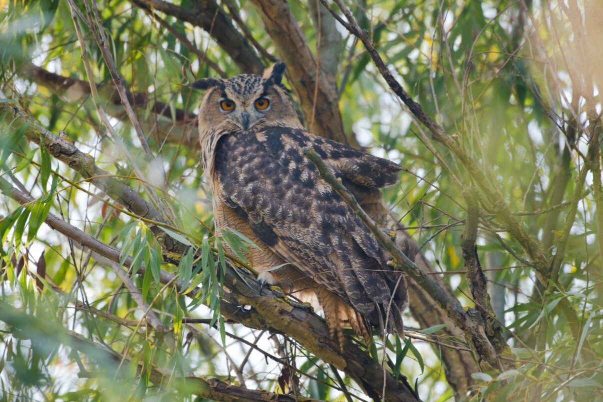 One of the released eagle owl