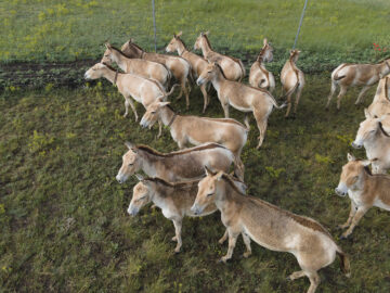 Aerial view on the herd of Transcaspian wild ass (Equus hemionus kulan) in the Tarutino steppe, Odessa oblast, Ukraine, Eastern Europe